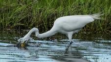 Great Egret fishing for dinner