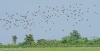 Flock of birds. Could be Purple Martins.